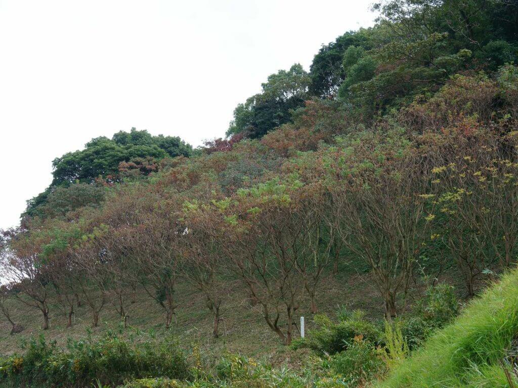 鷹取山のハゼノキ保護林の画像