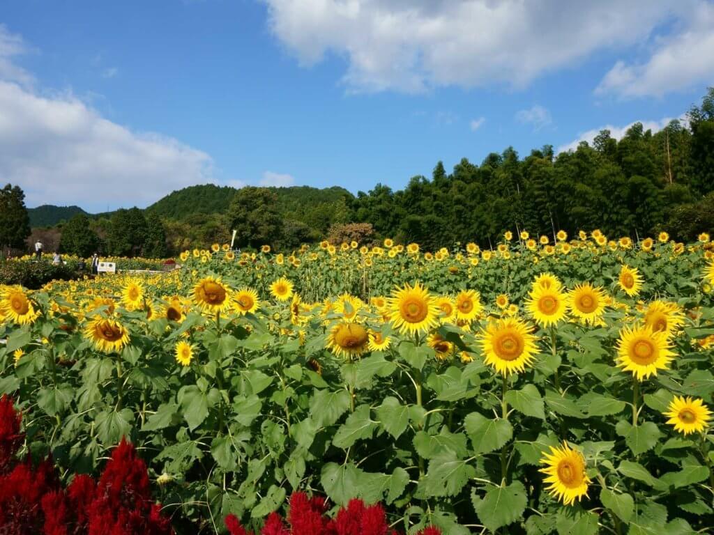 佐賀県みやき町の山田ひまわり園の画像