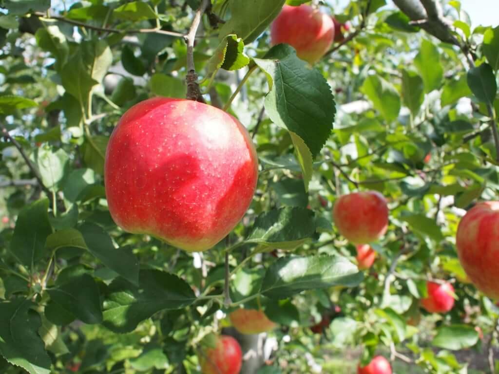 ふるさと納税でもらえる「りんご」をまとめてみた