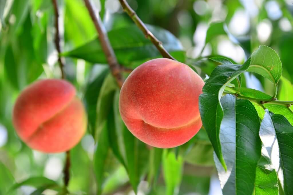 ふるさと納税でもらえる「桃」をまとめてみた